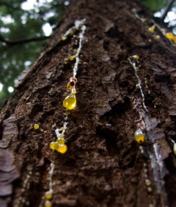 dripping_tree_sap